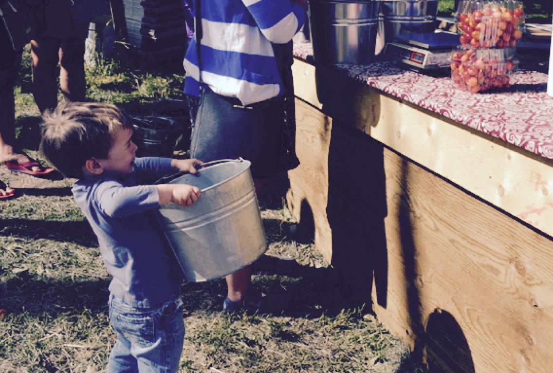 Cueillette de cerises à Kelowna © Amélie Racine