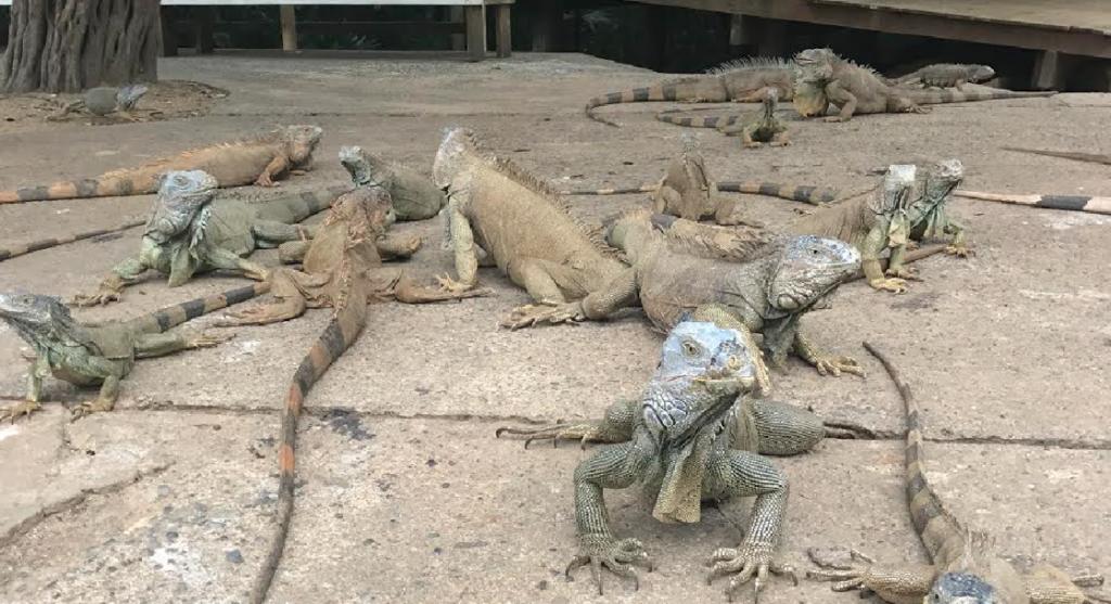 Les iguanes au Arch's Iguana Farm Honduras