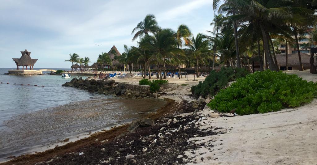 Algues Sargasses sur les plages du Riviera Maya au Mexique